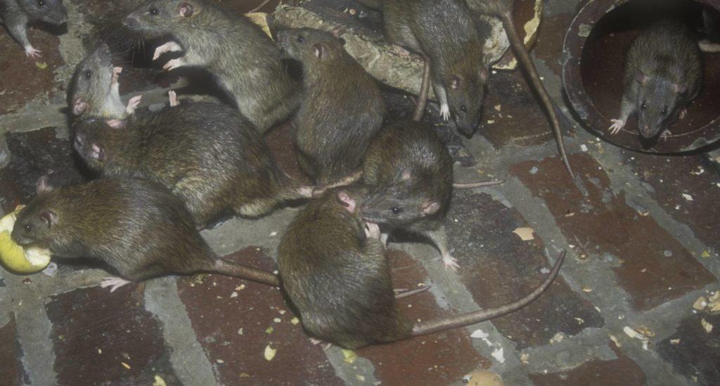 уничтожение крыс в Красногорске